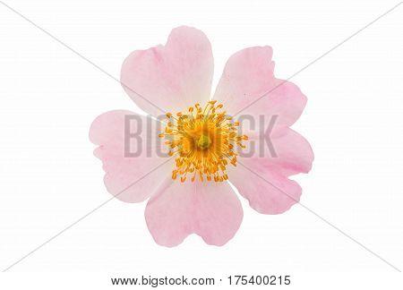 Beauty Dog rose isolated on white background
