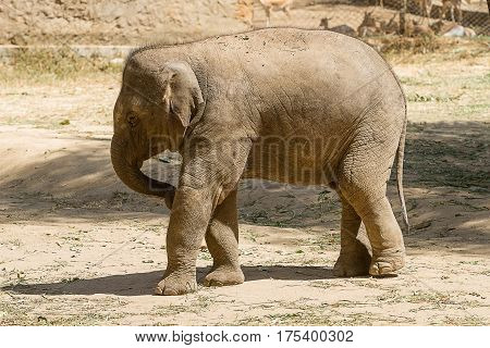 photo of a young Asian elephant playing in the sun on a sunny day in India