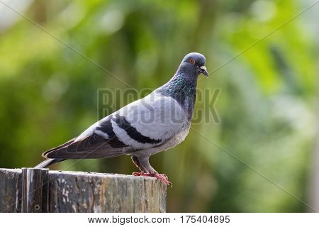 Image of a pigeon on nature background in thailand. Wild Animals.
