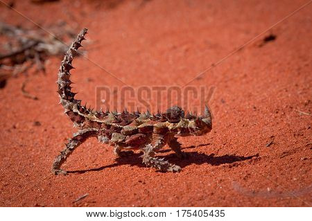 Thorny Devil in the Australian outback near Alice Springs, Northern Territory, Australia. The thorny devil is an Australian Lizard, also known as the mountain devil, the thorny dragon, or the moloch.