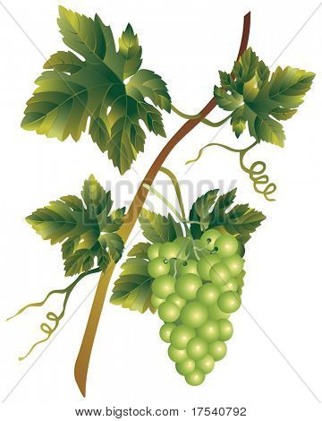Raster version of vector image of a bunch of muscadine