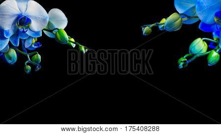 blue phalaenopsis orchid on black background free space for yoour text design logo for