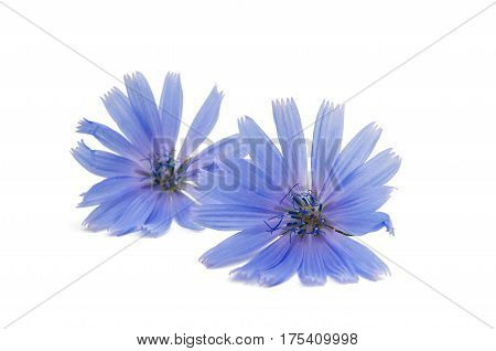 Chicory Blue flower on a white background