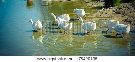 White geese in a hurry run to swim in the blue water of the river