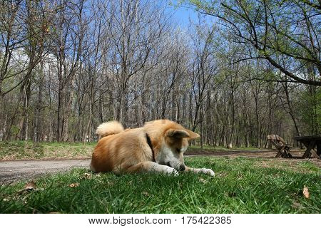 Puppy of Japanese dog Akita Inu having fun with piece of wood