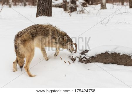 Grey Wolf (Canis lupus) Sniffs at Body of White-Tail Buck - captive animal