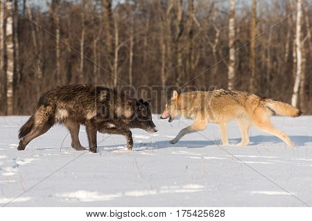 Grey Wolves (Canis lupus) Pass Each Other - captive animals