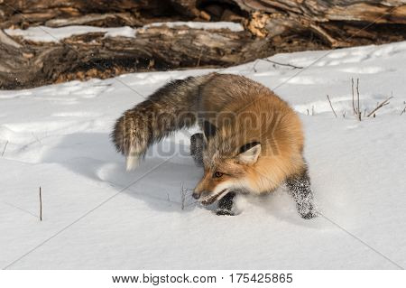 Amber Phase Red Fox (Vulpes vulpes) Turns Back - captive animal