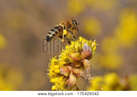 Honey bee collecting nectar on yellow flower, Honey Bee pollinating wild flower poster