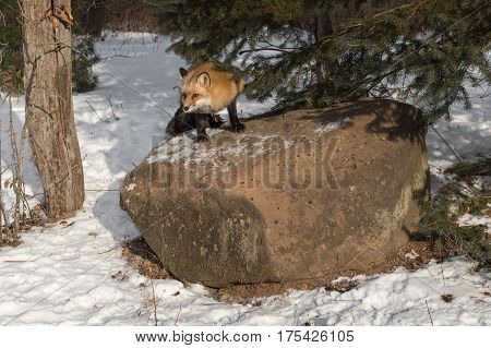 Amber Phase Red Fox (Vulpes vulpes) Looks Out from Atop Rock - captive animal