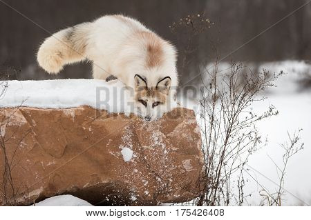 Red Marble Fox (Vulpes vulpes) Pushes Snow Down Side of Rock - captive animal