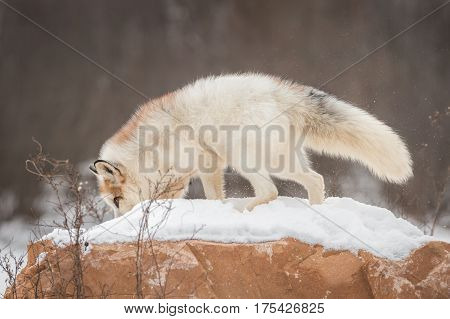 Red Marble Fox (Vulpes vulpes) Roots Around Atop Rock - captive animal