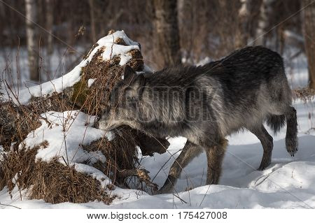 Black Phase Grey Wolf (Canis lupus) Sniffs at Log - captive animal