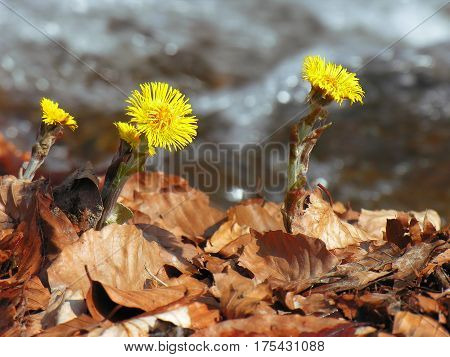 Tussilago farfara, commonly known as coltsfoot, is a plant in the groundsel tribe in the daisy family Asteraceae