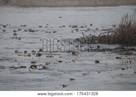 ecological tragedy shells of river mollusks lay under ice surface of lake dead frozen