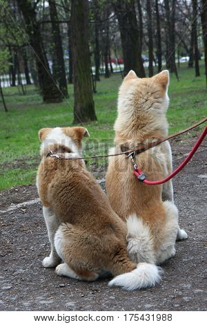 Akita inu dogs resting in public park
