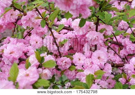 Prunus triloba Louiseania blossoms. Spring branch of almond with beautiful pink flowers. Nature background.