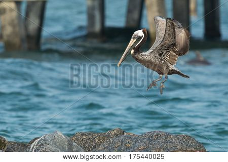 Immature Brown Pelican (Pelecanus occidentalis) is landing on the rock next to dock.