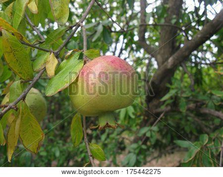 Ripening pomegranate (maturing granet) on the granrt tree
