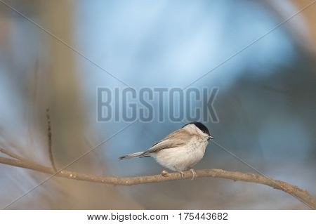 The marsh tit (Poecile palustris) sitting on the branch with blue background.