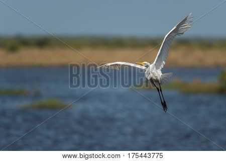 Potrait of the Great egret (Ardea alba) in low flight above water. Wildlife scene from Florida, USA. Spring day on the meadow.