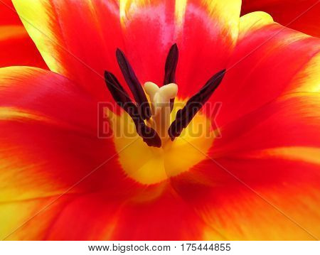 Close up of part of red tulip flower