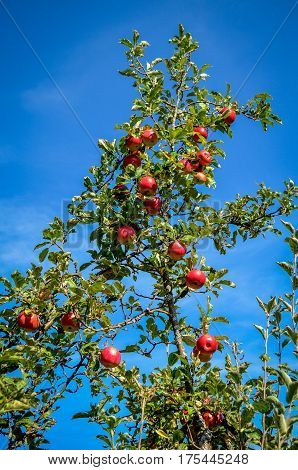Red apples on the branch, apple tree