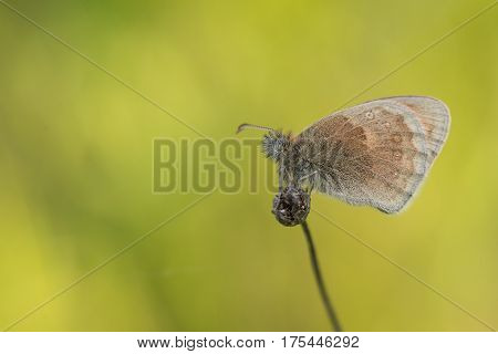 Butterfly (Small Heath, Coenonympha pamphilus) resting on little flower.