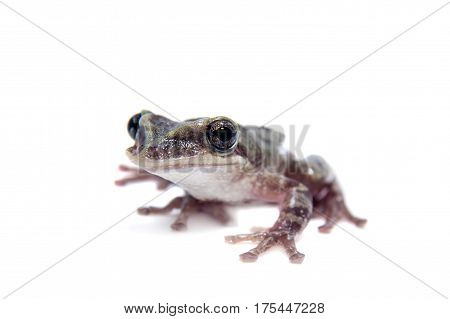 The shovel-headed tree frog, triprion petasatus, isolated on white background