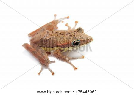Gunther's whipping frog, montane hour-glass tree-frog, Taruga eques, isolated on white background