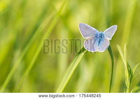 Photo of butterfly. Polyommatus icarus on flower.