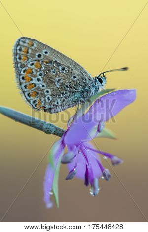 Photo of butterfly (Polyommatus icarus) on flower with a yellow background.