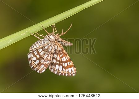 Beautiful nature scene with butterfly Latticed Heath (Chiasmia clathrata). Macro shot of butterfly on the grass. Butterfly in the nature habitat.