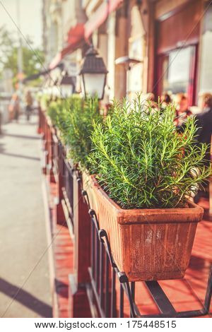 Pot with bush of green rosemary plant at street city Budapest.