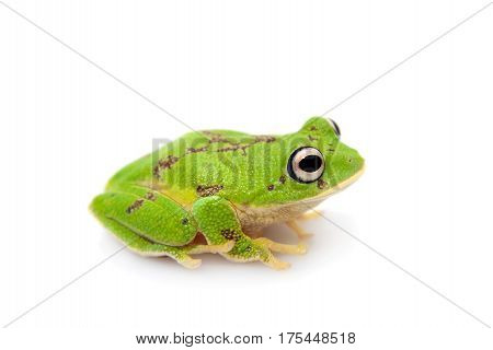 The round-snout pygmy frog, Pseudophilautus femoralis isolated on white background