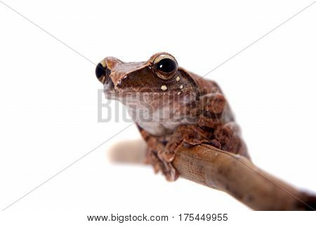 Orlov's flying frog, Rhacophorus orlovi, isolated on white background