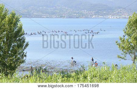 COMBARRO, SPAIN - AUGUST 5, 2016: People gathering shelfish on the shore of the Ria de Pontevedra in Combarro Galicia Spain.