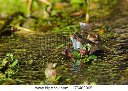 Common Frog (rana Temporaria )