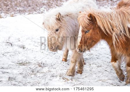 Two lovely small pony horse on a snowy field outdoors by the farm