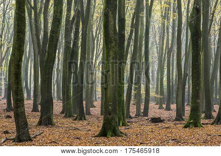 Beech forest in morning light near Vierhouten in Speulder en Sprielderbos.