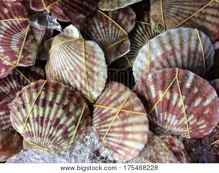 Scallops live displayed on ice at Asian Street market.  Shells have a striped red brown and white pattern.  Close up.  Directly above.  Horizontal image.   Photography.