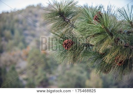 Early stage pine cone from the Douglas Fir tree in Angeles National Forest.