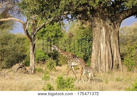 A mother Giraffe and her baby walk under a baobab tree in Tanzania.