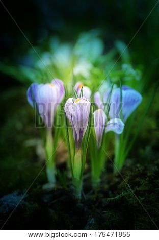 Beautiful photo of lilac crocuses on a bright spring grass