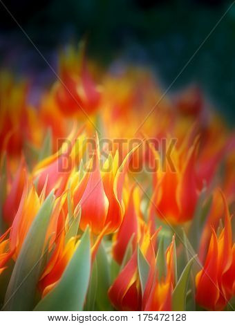 Photo of bright beautiful fiery tulips in the park