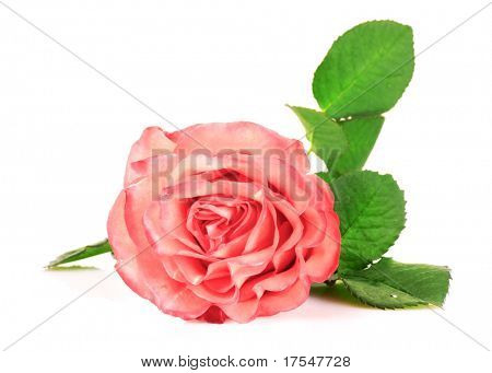 pink rose closeup isolated on white