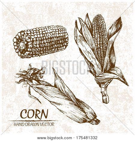 Digital vector detailed corn hand drawn retro illustration collection set. Thin artistic linear pencil outline. Vintage ink flat style engraved simple doodle sketches. Isolated objects