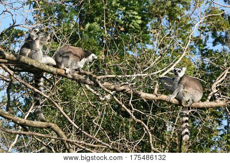 a picture of some ring-tailed lemur on a tree