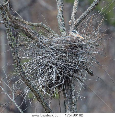 A Great Blue Heron (Ardea herodias) sitting on a nest