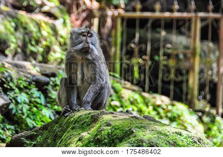 Balinese Macaque In Monkey Forest In Ubud, Bali